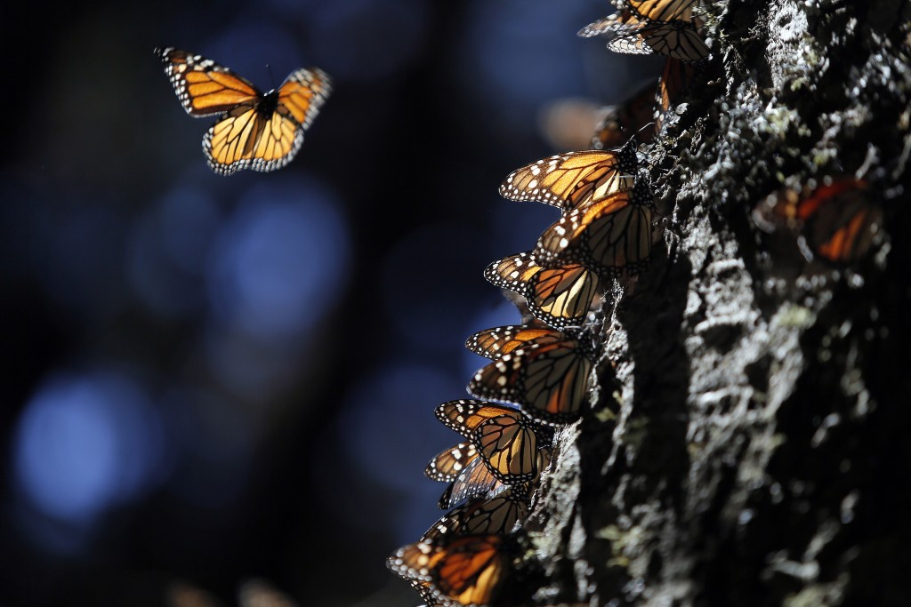 TEMASCALTEPEC, MEXICO - DECEMBER 26: Millions of Monarch butterflies migrate from the North American continent to the high forests of fir trees in Michoacan and the State of Mexico for the winter in Temascaltepec, in the State of Mexico, Mexico, on Friday, December 26, 2014. The Monarch butterfly is a kind of ditrisio Lepidoptera Nymphalidae family, and perhaps the best known of all North American butterflies. The Monarch butterfly is unique because of its great migration. It is the insect that carries out the most extensive and in greater numbers migration and immigration generation is much more long-lived than other generations. It has high strength and longevity can reach 9 months (the migratory generation) thanks to these features can travel up to 4000 kilometers from Canada to the firs and pine forests above 3000 meters in the states of Mexico and Michoacan. (Photo by Hugo Ortuño)
