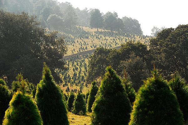 bosque-de-navidad-3-ok