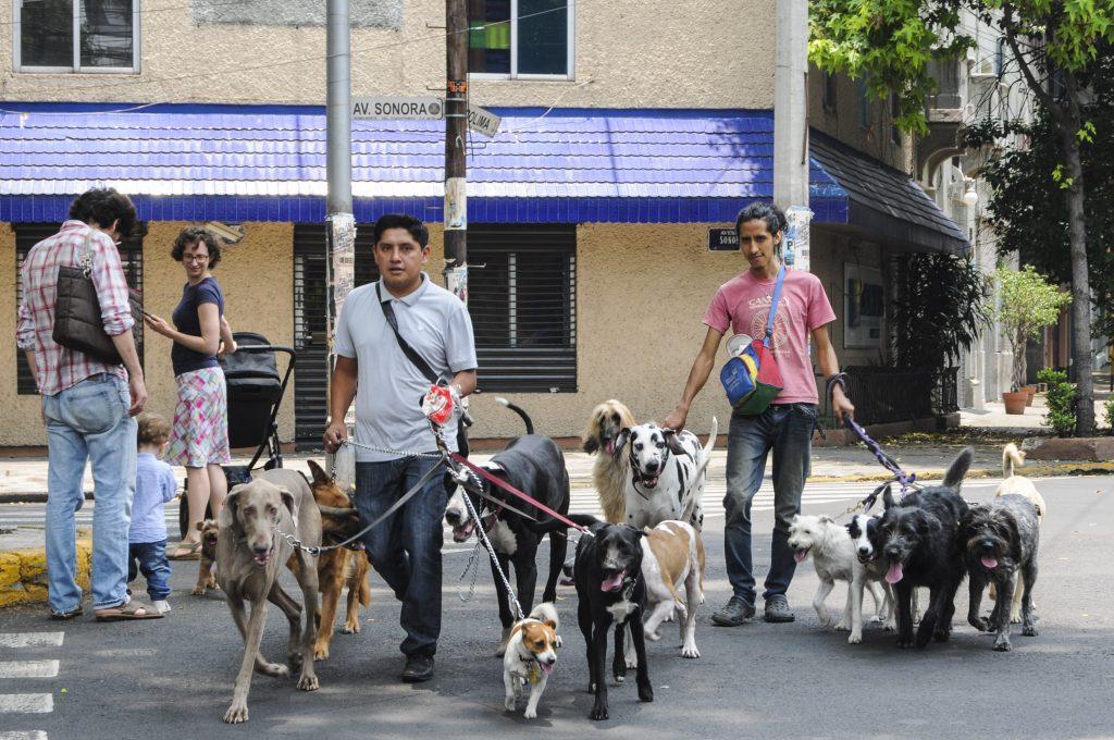 CIUDAD DE MÉXICO 29MAYO2016.- Dos jovenes pasean a catorce perros por algunas calles de las colonias Roma y Condesa. FOTO: DIEGO SIMÓN SÁNCHEZ /CUARTOSCURO.COM