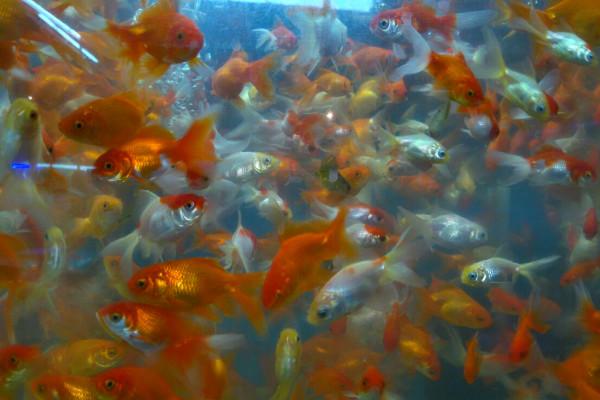En la Ciudad de México hay un auténtico mercado de peces, donde puedes adquirir una nueva mascota.