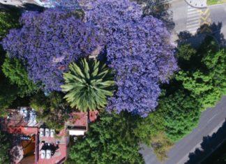 Jacarandas en la Ciudad de México