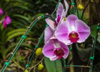 Orquídeas de Primavera